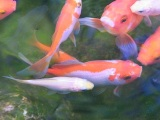fish, received healing at the Self Realization Meditation Healing Centre, Michigan USA