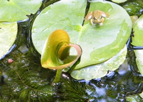 heart shaped lily pad in the garden pond at the Self Realization Sevalight Centre for Pure Meditation, Healing & Counselling, Bath MI USA