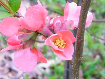 quince blossoms at the Self Realization Sevalight Centre for Pure Meditation, Healing & Counselling, Bath MI USA